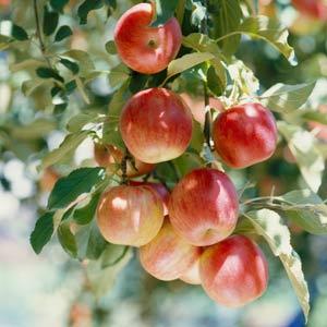 fruit-garden-4